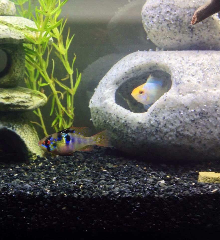 German Blue Ram Seraphina And Gold Powder Blue Ram Zeus Acuariofilia Peces Exoticos Vida Marina