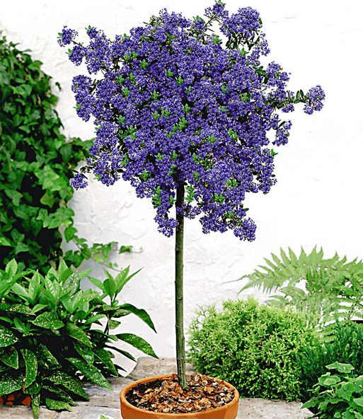 ceanothus st mmchen 39 blue mound 39 gardening garten. Black Bedroom Furniture Sets. Home Design Ideas