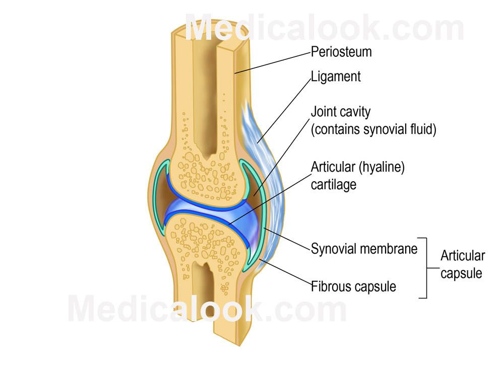 joints | Skeletal joints - Medicalook Human Anatomy organs ...
