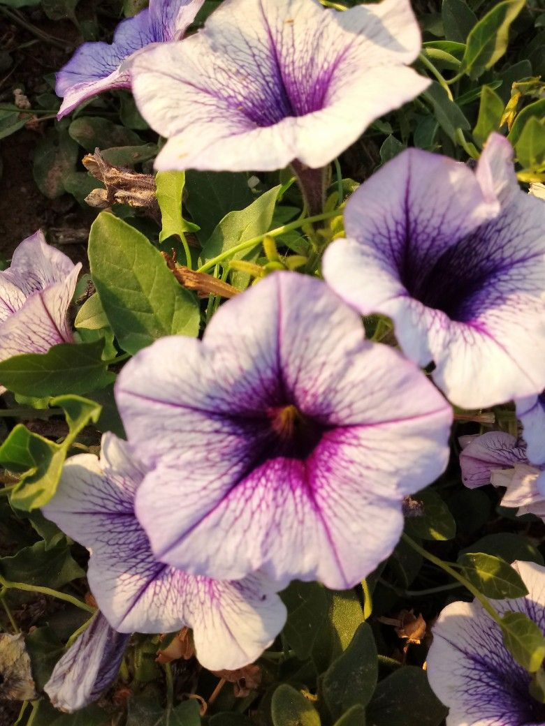 Petunia Surfinea De Color Violeta I Lila Petunias