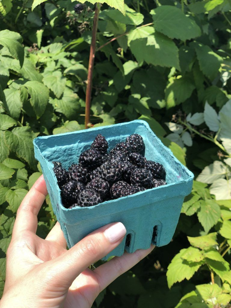Picking Berries Outside of DC + How to Freeze Fresh
