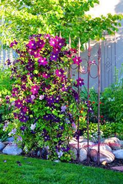 Genuine!free ship clematis bulbs, clematis bonsai mix, clematis hybridas Climbing plants garden landscaping, 100 flores,#16D8JU -   25 garden trellis clematis ideas