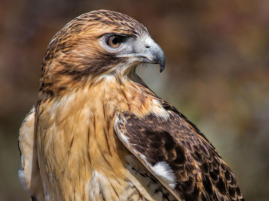 Red Tail Hawk By Dale Kincaid