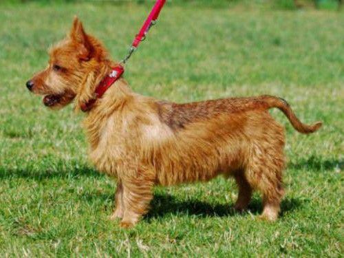 Dog australian terrier articles   Australian terrier ...