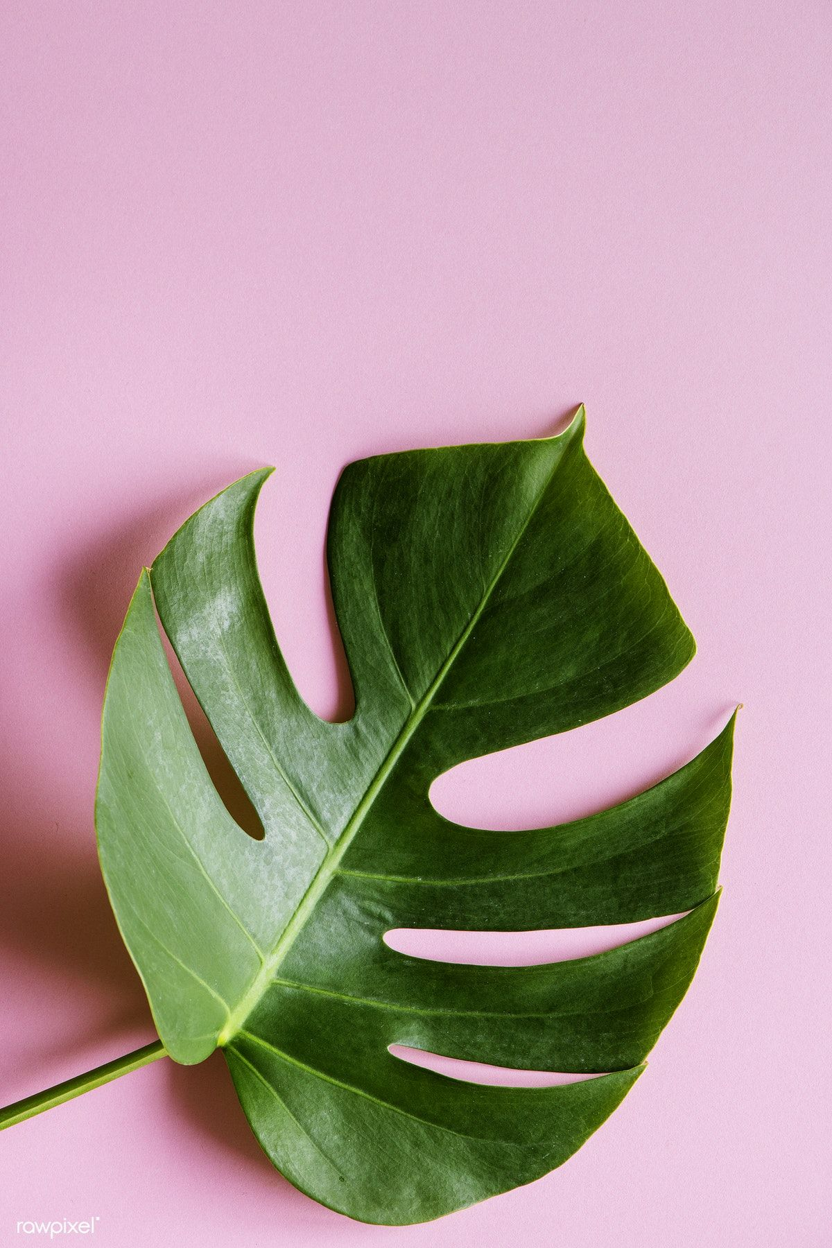 Tropical leaf on pink background. Get this free image at
