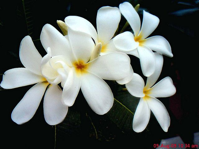 Everything About Plumeria Flower Plumeria Flowers Flowers Beautiful Flowers