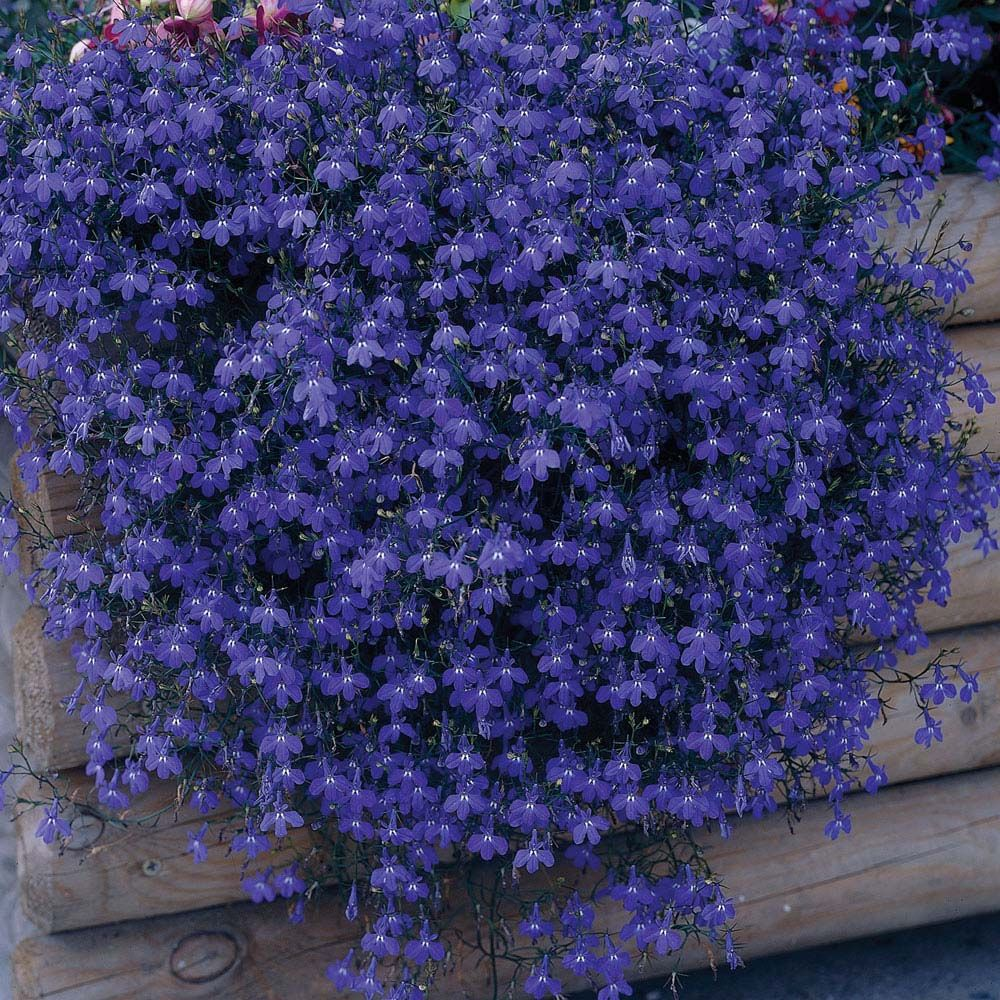 Lobelia 'Monsoon' (Seeds) Flower seeds, Annual plants