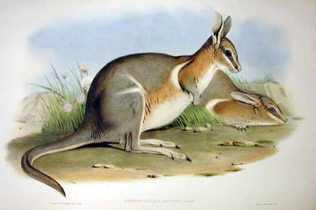 "BEAUTIFUL TASMANIA TIGER JOHN GOULD CANVAS PRINT 8x10/"" VINTAGE AUSTRALIAN ART"