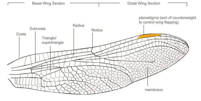 Dragonfly Wing Diagram Electrical Drawing Wiring Diagram