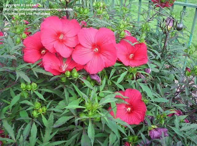 Fireball Hardy Hibiscus Big And Red Gardens And Gardening