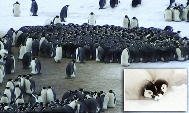 Now that's a warm hug! Emperor penguins get so hot in their huddles they EAT fresh snow to cool down    Read more: http://www.dailymail.co.uk/sciencetech/article-3349517/Now-s-warm-hug-Emperor-penguins-hot-huddles-EAT-fresh-snow-cool-down.html#ixzz3tsOSG6CY  Follow us: @MailOnline on Twitter | DailyMail on Facebook