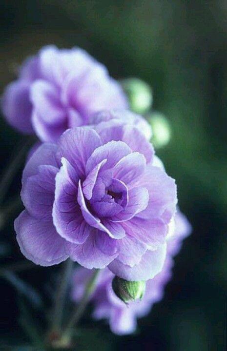 .carnation