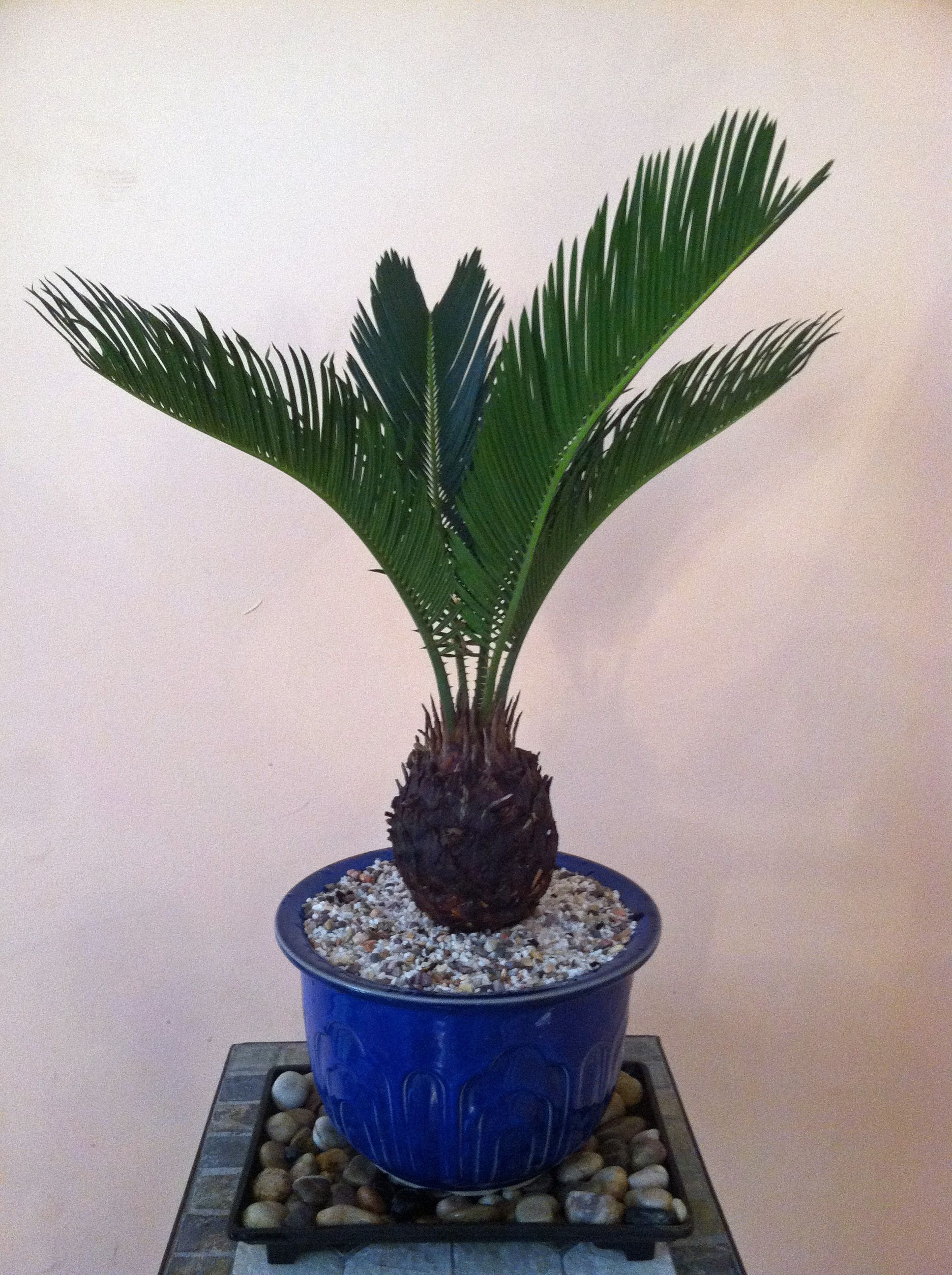 Best Kitchen Gallery: My Sago Palm Bonsai One Of The Oldest Plant Species Still Around of Tree House Plant Names on rachelxblog.com