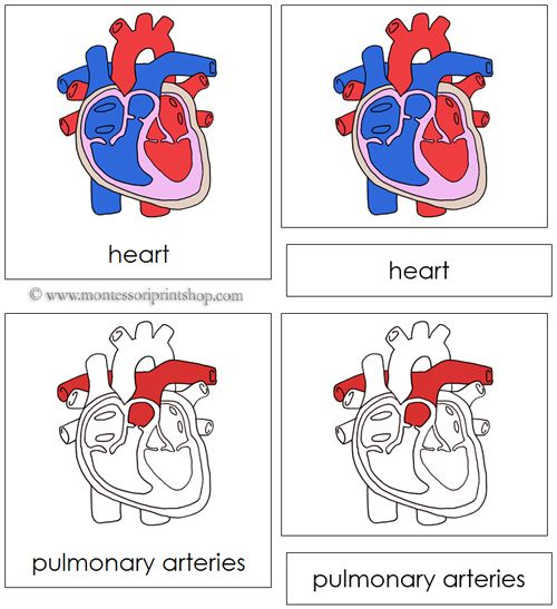 Human Heart Nomenclature - Cards (red) Health, Science  Other