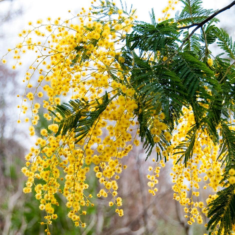 Acacia Dealbata Mimosa Mimosa Flower Mimosa Plant Flowering Trees