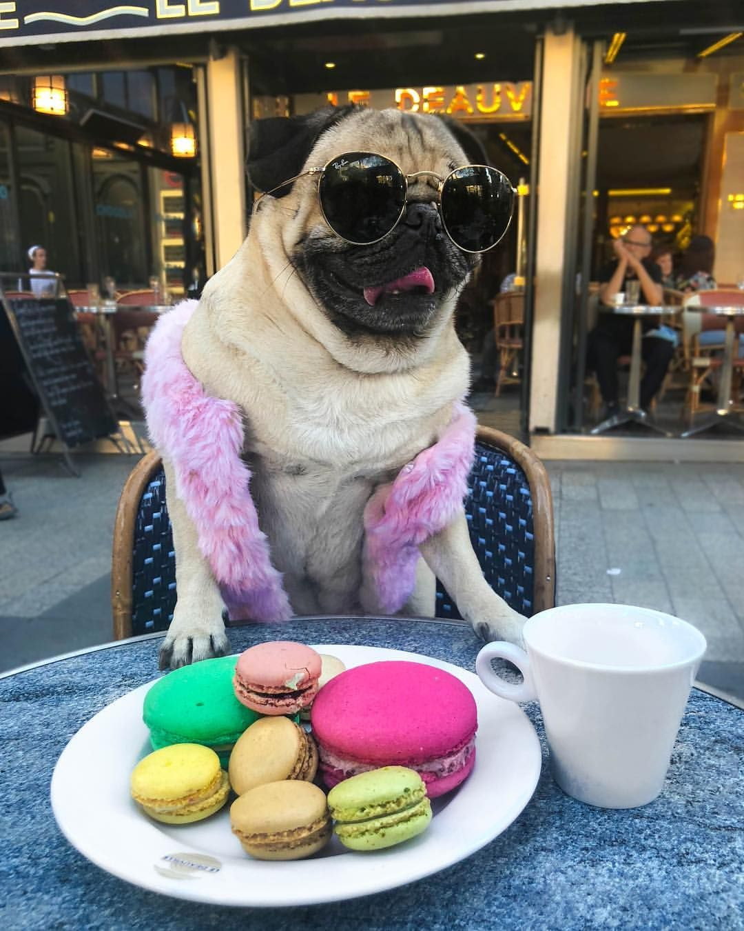 When A Pug Goes To Paris Doug Vote For Me To Win A People S