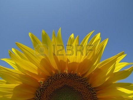 Sunflower Stock Photo - 21876932