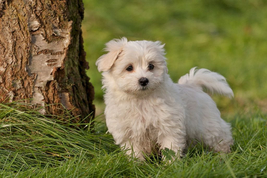 30 Cutest Pictures of Havanese Puppies