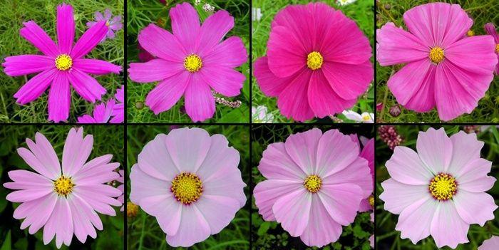 Cosmos Petal Varieties Botanyboy Org List Of Flowers Beautiful Flowers Flowers