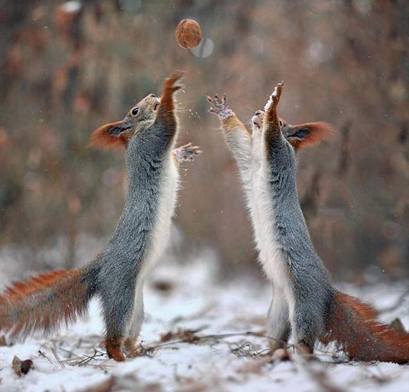 Ardillas jugando con una nuez
