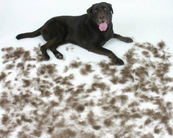 Dog Hair Everywhere Dog Breeds That Dont Shed Dog Shedding