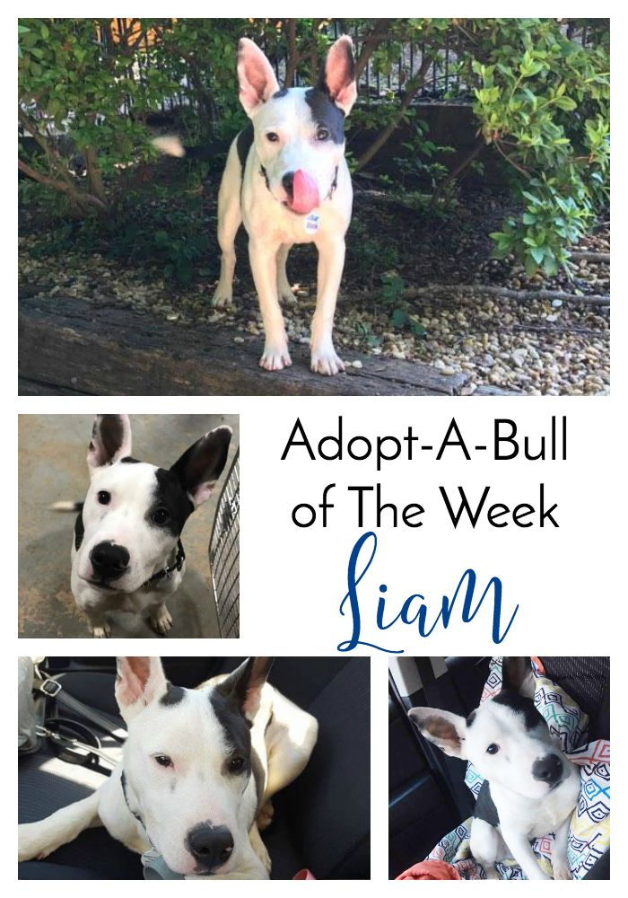 Adopt A Bull Of The Week Liam In New York Dog Mom Pets Adoption