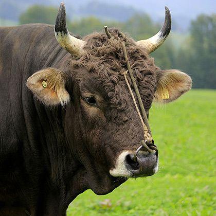 Rinder Original Schweizer Braunvieh Cattle, Cow