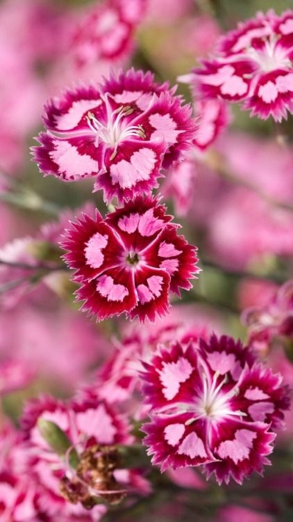 Dianthus dianthus flowers dianthus spp are also called pinks dianthus flowers dianthus spp are also called pinks they belong to a family of plants which includes carnations and are characterized by the spicy mightylinksfo Choice Image
