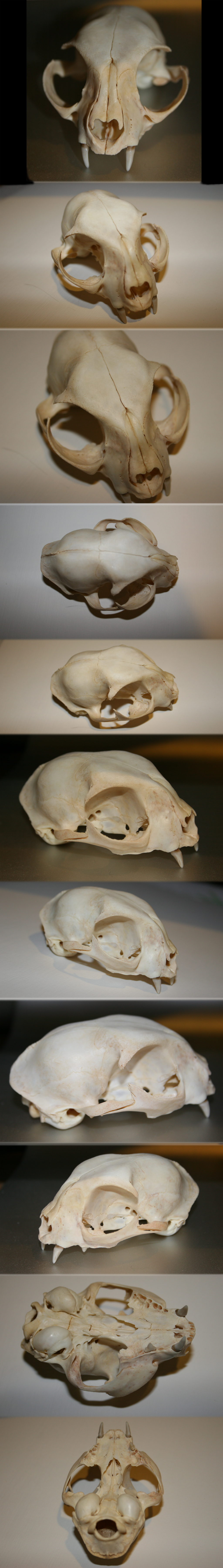 Domestic Cat Skull by Earldense | Skulls | Pinterest | Cat skull ...