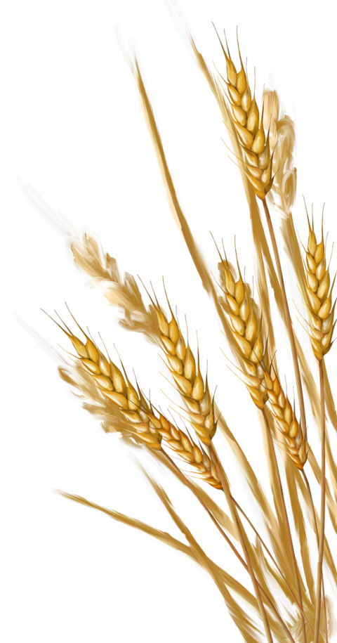 Download Wheat Png Images Background Png Free Png Images Wheat Drawing Grass Painting Flower Painting