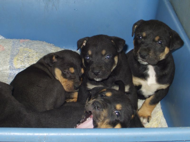 Pitbull And Rottweiler Mix Puppies No Sweeter Or More Loving Kind Of