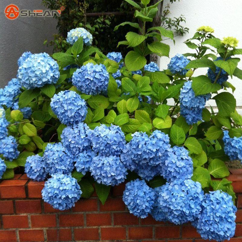 Hydrangea Image By Karen Sebzda Blue Hydrangea Flowers
