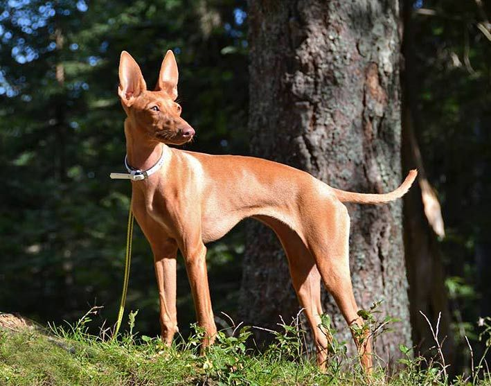 Pin By Iva On Cirneco Dell Etna Sicilian Hound Nora Dogs Breeds
