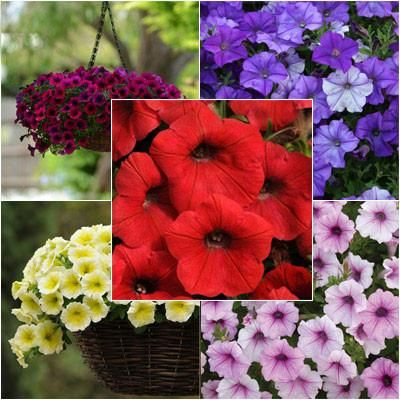 Petunia Shock Wave F1 Collection Petunias All Flowers Shock Wave