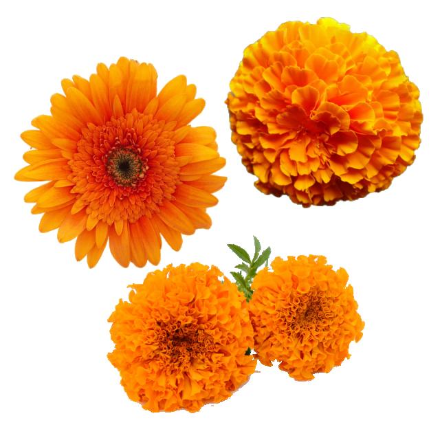 Merigold Flower, Transparent Merigold Flower, Yellow