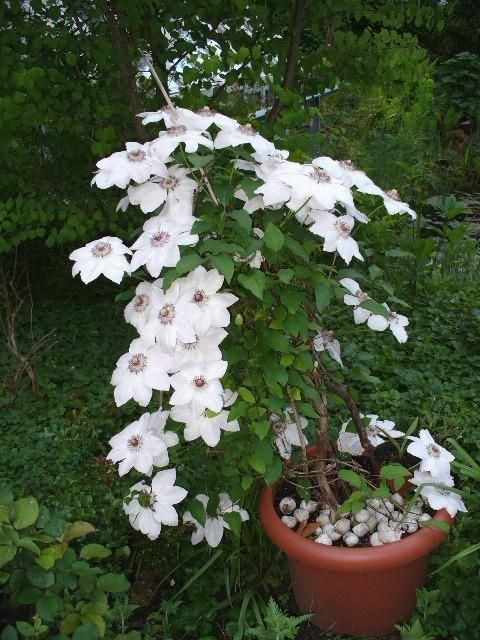 clematis miss bateman climbers wall shrubs pinterest. Black Bedroom Furniture Sets. Home Design Ideas