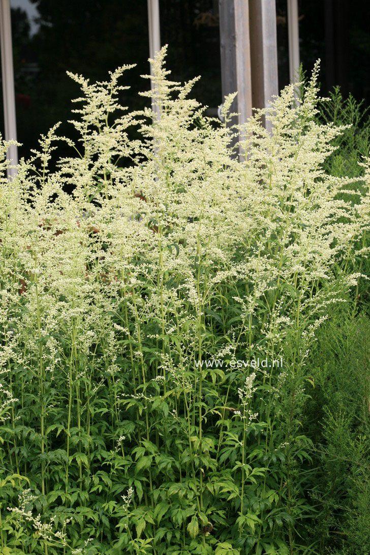 Artemisia Lactiflora Artemisia Lactiflora Guizhou White
