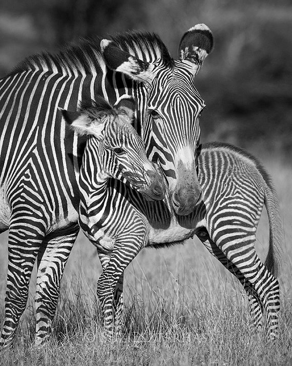 Safari nursery art baby zebra and mom photo black and white print baby animal photography african wildlife photography safari nursery