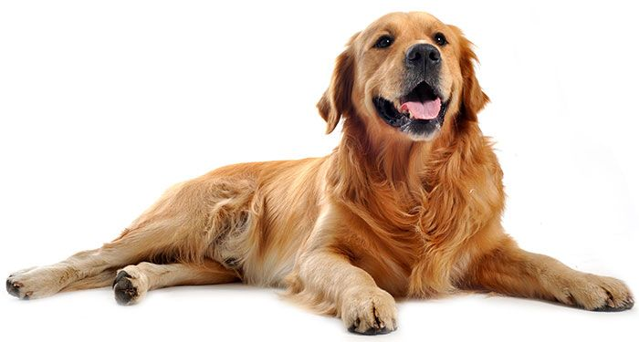 Learn All About The Golden Retriever Breed History Stats