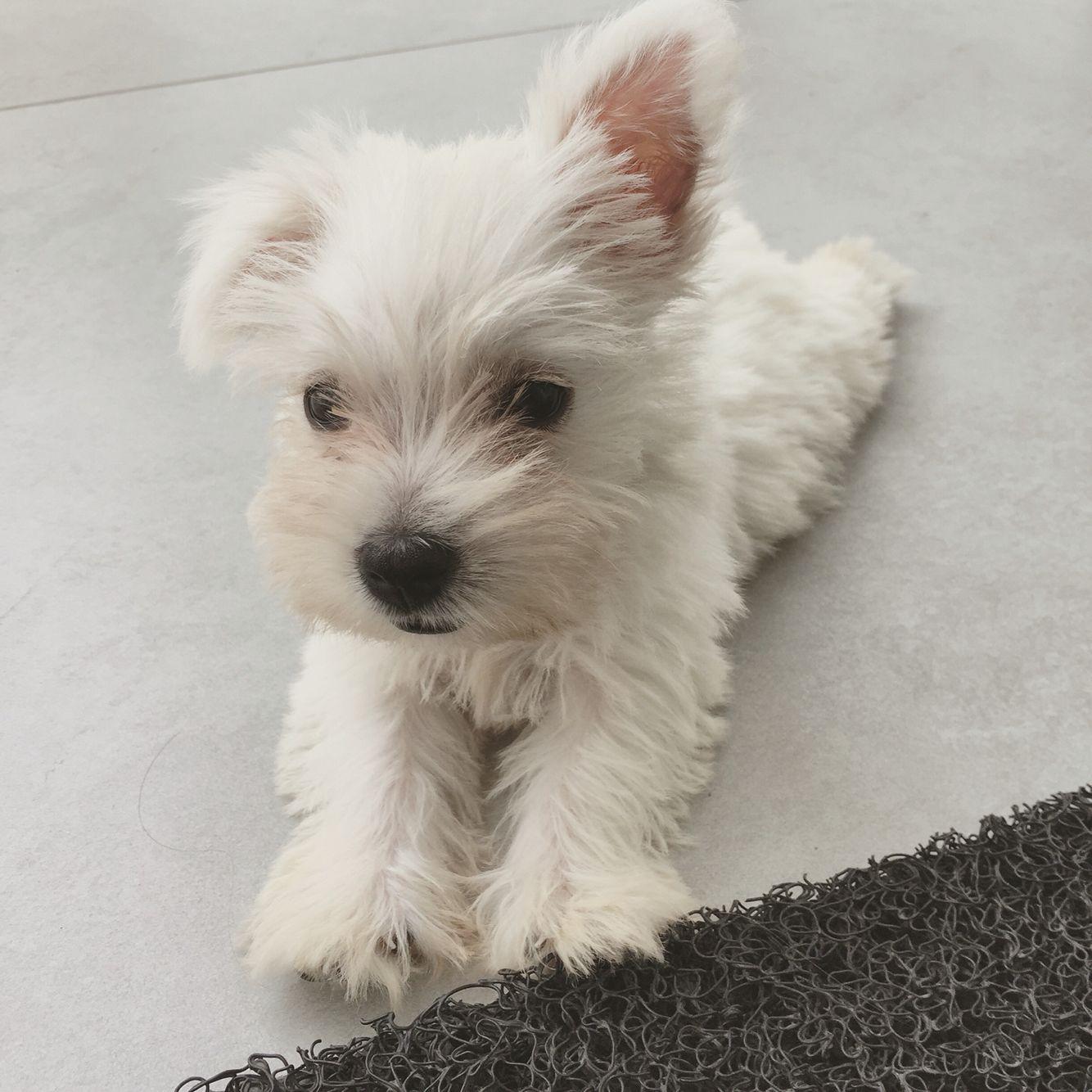 Nancy's Westies - Finella''s Litter of Westie Puppies for Sale Maryland USA