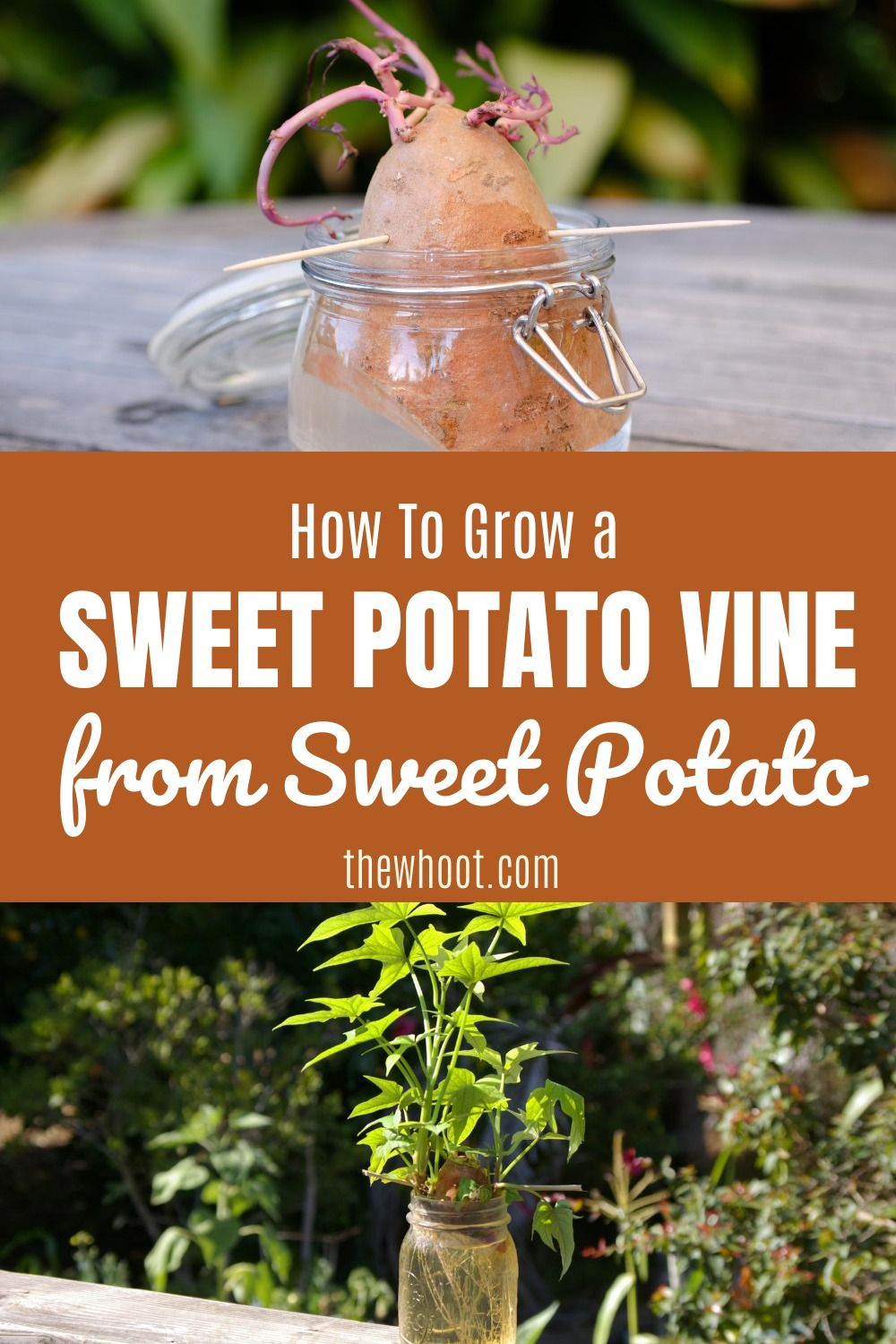 How to grow a sweet potato vine from a sweet potato in