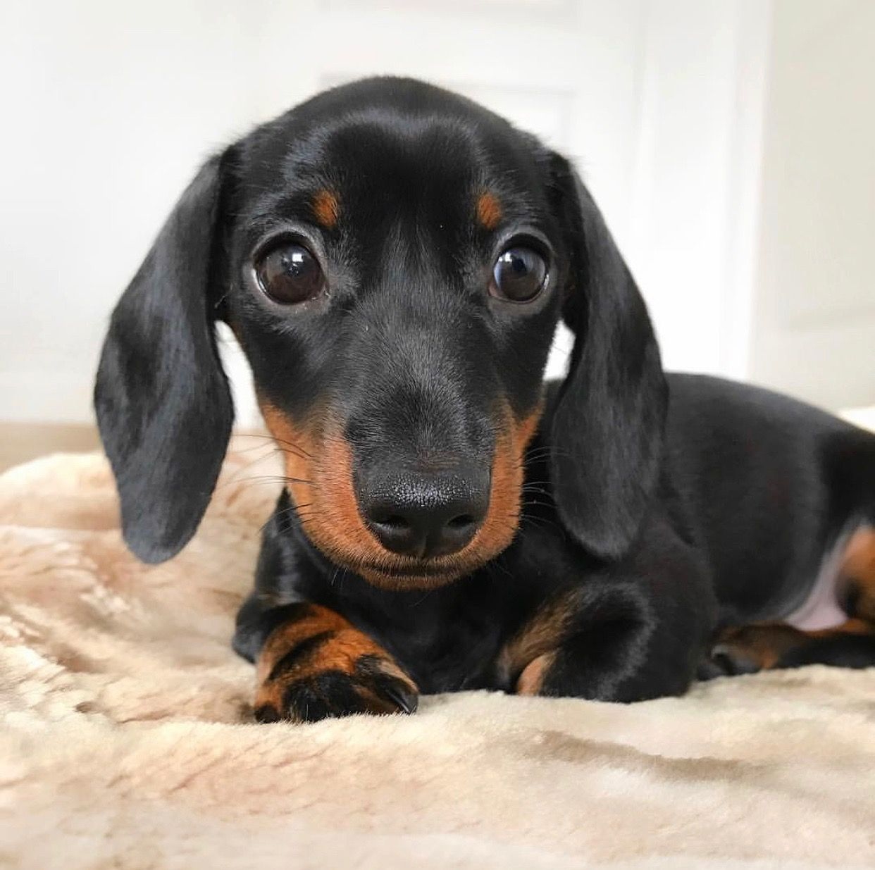 Top Of My Birthday List Dachshund
