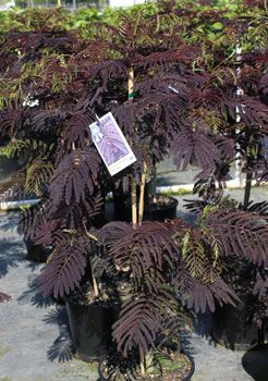 Centerton Nursery Summer Chocolate Mimosa Tree