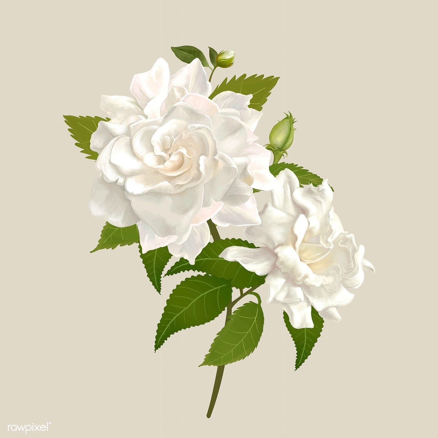 Beautiful Gardenia Flowering Plant Illustration Free Image By Rawpixel Com Adj In 2020 Plant Illustration Gardenia White Gardenia