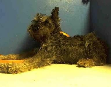 SAFE - SUPER URGENT 11/14/13  Brooklyn Center   BENNY - A0984985   I am a neutered male, gray Schnauzer - Miniature mix.   The shelter staff think I am about 10 years old.   I was found in NY 11367.   I have been at the shelter since Nov 14, 2013 https://www.facebook.com/Urgentdeathrowdogs/photos_stream#!/photo.php?fbid=707344949278387&set=pb.152876678058553.-2207520000.1384472334.&type=3&theater