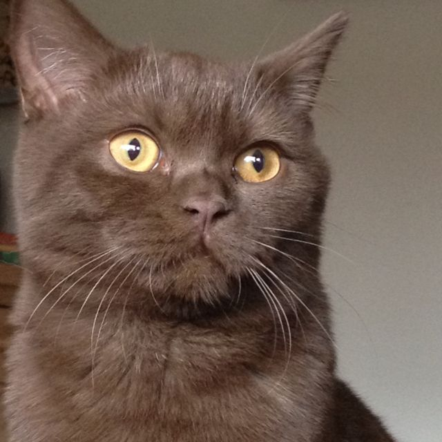 Chocolate British Shorthair Cat Kitten British Shorthair Cats
