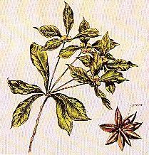 Malurt ( Artemisia Absinthium ) Hoved ingrediens i den ægte Absinth...