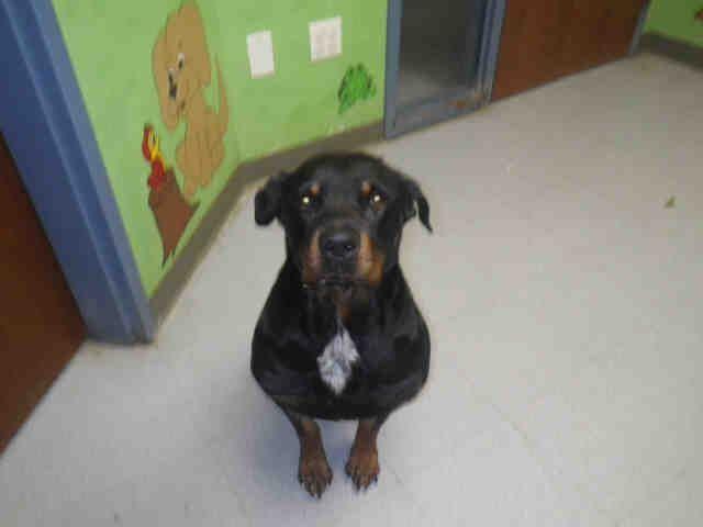 Rottweiler Dog For Adoption In Augusta Ga Adn 718515 On