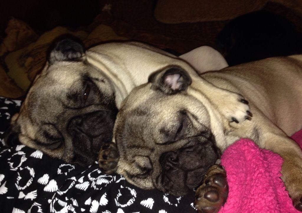 Pixie And Rosie Napping Baby Pugs Sleepy Girl Pugs