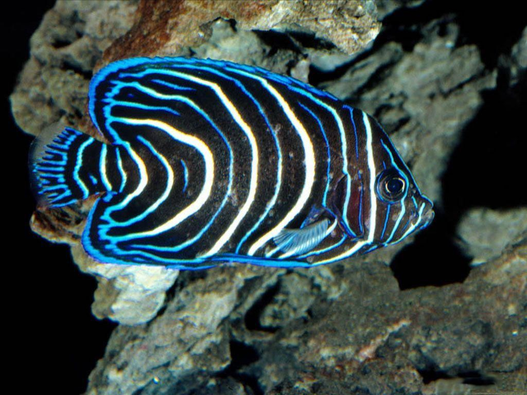 Blue neon saltwater fish salt water aquarium fish for Saltwater reef fish